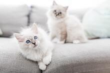 Piccolo Gatto Bianco Occhi Azzurri Sul Divano