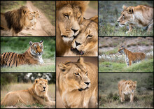 Lion Collage Of Majestic African King Of The Jungle. South Africa Safari Is A Travel Adventure Of A Lifetime.