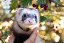 Ferret Playing In Hollow Tree Stump Trunk Garden