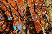 Yellow Leaves On An Oak Branch In Sunlight On A Blue Sky