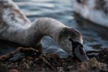 Grey Swan Pecking