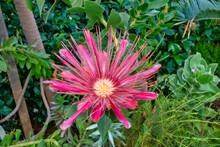 Potberg Protea Pink Flower Bloom