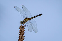 Female Blue Dasher Dragonfly Perched On A Frond