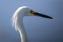 Closeup Shot Of A Snowy Egret On The Waters Edge At A Salt Marsh