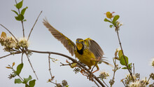 A Beautiful Yellow-throated Longclaw