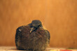 młody gołąb grzywacz