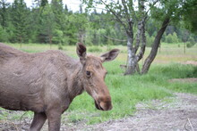 Close-up Portrait Of Alces Alces Alces, Bull From Side View In Forest