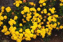 Yellow Garden Blooming Flowers Near Street. Plenty Yellow Village Flowers. Bush Of Uncountable Yellow Flowers