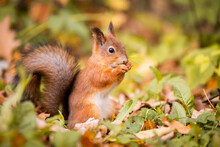 Squirrel In Autumn , Yellow Park With Fallen Leaves, Concept Autumn Nature Preparation For Winter, Redhead Little Beast In The Forest