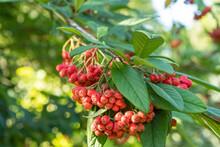 Cotoneaster Henryanus Henrys Strauchmispel Frucht