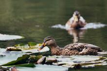 Closeup Shot Of Marsh Ducks Swimming In A Lake