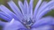 Fioletowy, delikatny, polny kwiat (cykoria podróżnik) makro