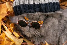 British Long-haired Cat In A Knitted Hat And Round Sunglasses On Yellow Autumn Maple Leaves. Close-up.