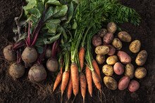 Autumn Harvest Of Fresh Raw Carrot, Beetroot And Potatoes On Soil In Garden, Top View. Organic Vegetables Background