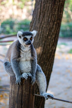 Ring Tailed Furry Lemur Sits On A Tree Stump. Ring-tailed Lemur Sitting On The Tree. Crowned Lemur (Lemur Catta) With Eyes Wide Open. Mammal With A Striped Tail Sitting On The Branch In The Forest