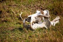 The Bleached Skull Of A Hippopotamus Lies In The Grass Of The Masai Mara, Kenya