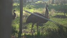 Emu Birds Behind Fence In Werribee Park, City Of Melbourne. Camera Motion View