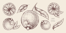 Vector Set Of Vintage Hand-drawn Lemons Or Limes On A Brown Background. Whole Citrus Fruits With Stem, Leaves And Several Slices. Decorative Elements For The Design Of Banners, Organic Juice Packages.