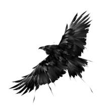 Drawn Graphic Raven Bird In Flight On A White Background