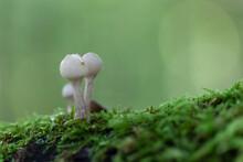 Porcelain Fungus Oudemansiella Mucida Growing On Decaying Wood