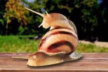 Wild Big Snail Eats The Green Leaf