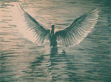 Digital Linocut Pelican Bird In Water