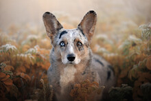 Portrait Of Blue Merle Welsh Corgi Cardigan Sitting In Red Grass Covered With Snow In Beautiful Frost Morning