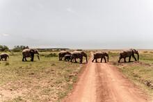 Herd Of Elephants Crossing The Safari Road.