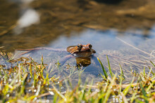 Detail Of Orange Frog Swimming In Water Puddle