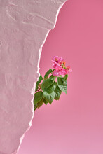 Lesser Bougainvillea Flowers On Pink Background