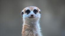 Meerkat, Suricata Suricatta, Africa