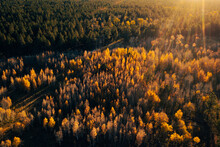 Green Pine Trees And Golden Aspens In Warm Sunset Light, Aerial