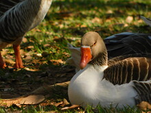 Goose Resting On Green Lawn.