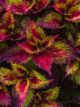 Close Up Of A Magenta, Red And Green Coleus