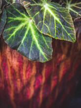 Begonia Leaves In Red Pot