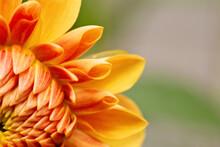 Close Up Detail Of Orange Dahlia