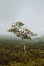 A Tall Tree On A Mountain Ridge Covered With Bushes . View From Imesi Ile In Osun State, Nigeria