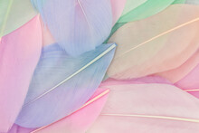 Pink And Blue Goose Feathers