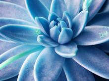 Suculenta Azul
