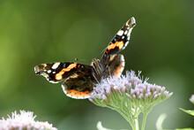 Red Admiral Butterfly On Eupatorium Flower