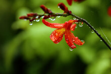 Red Crocosmia Flower Wet From Rain