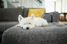 Cute White Dog Resting On A Couch