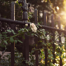 Garden Rose Through Iron Fence In Summer Sun