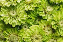 Green Zinnia Flower Background