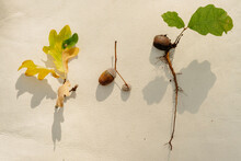 Three Oak Tree Details - Acorn, Leaves And Roots