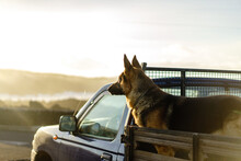 Cute Dog Standing On Back Of Truck Looking Away