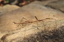 Stick Bug On A Rock