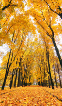 Golden Maple Tree Alley In Moscow Park In Nasty Autumn