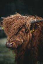 Profil Vache Highland