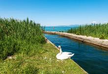 White Mute Swan On The Lakeshore Of Lake Garda (Lago Di Garda). Green Reeds, Near The Small Village Of Bardolino And Lazise, Tourist Resort In Verona Province, Veneto, Italy, Europe.